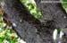 Eye-browed Thrush