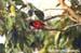 Scarlet Minivet