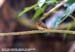 Tickell\'s Blue Flycatcher