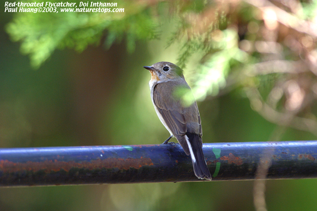 Red-throated Flycatcher