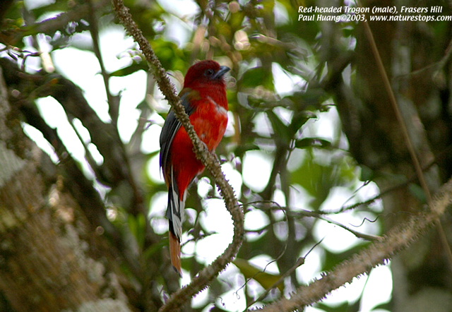 Red-headed Trogon