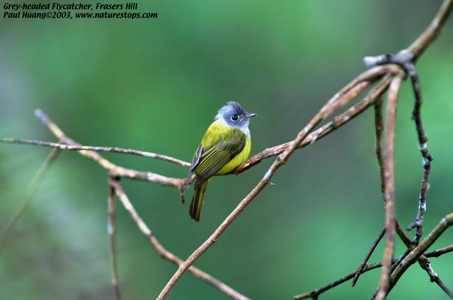 Grey-headed Flycatcher
