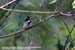 Mugimaki Flycatcher