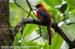 Whitehead\'s Trogon (endemic)