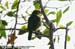 Golden-naped Barbet (endemic)