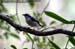 White-browed Shrike-babbler