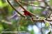 Scarlet Sunbird