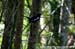 Magpie Robin (North and East Borneo)