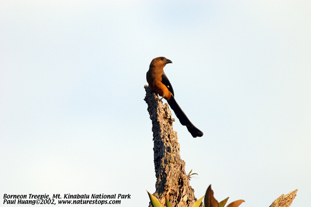 Borneon Treepie (endemic)