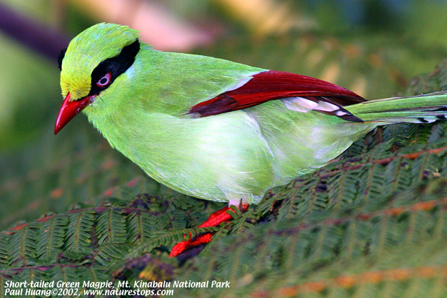 Short-tailed Green Magpie (endemic)