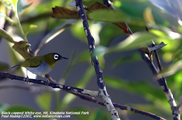 Black-capped White-eye (endemic)
