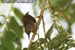 Red-throated Sunbird