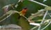 Ruby-cheeked Sunbird