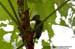 Buff-rumped Woodpecker