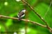 Black-winged Flycatcher-Shrike