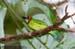 Blue-eared Barbet