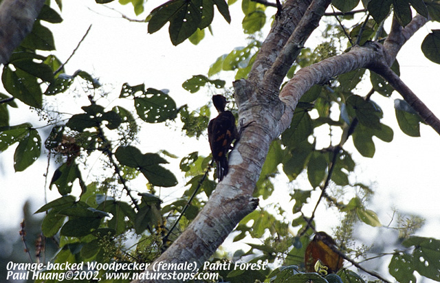 Orange-backed Woodpecker