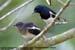 Oriental Magpie Robins