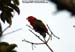 Red Lory (escapee)