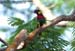Rainbow Lorikeet (escapee)