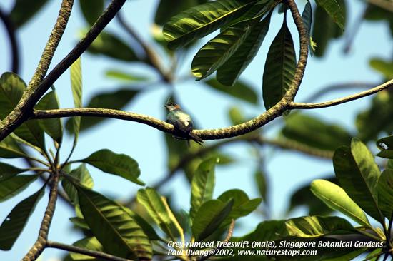 Grey-rumped Treeswift