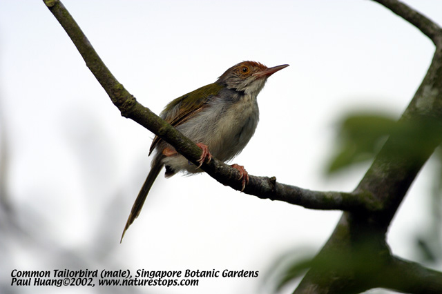 Commom Tailorbird