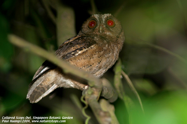 Collared Scops Owl