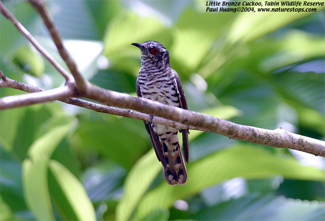 Little Bronze-Cuckoo (c.m. Peninsularis)