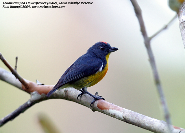 Yellow-rumped Flowerpecker