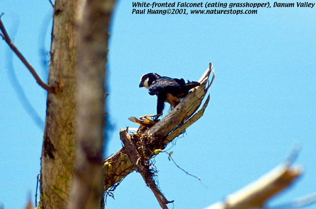 White-fronted Falconet