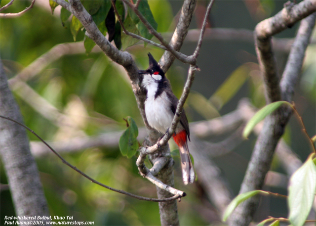 Red-whiskered Bulbul