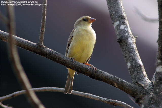 Plain Sparrow