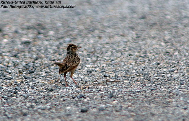 Rufous-winged Bushlark