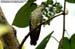 Malayan Bronze Cuckoo
