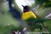 Plain-throated Sunbird