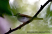 Eastern Crowned Warbler