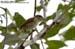 Tiger Shrike