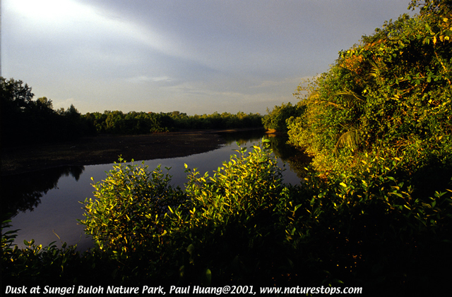 Evening Light at the Mangroves