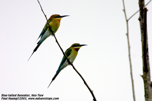 Blue-tailed Beeeaters