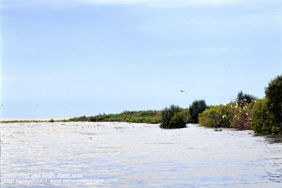 Mangrove and Birds