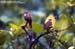 Olive-winged Bulbuls