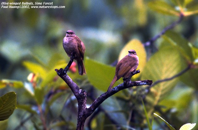 Olive-winged Bulbuls