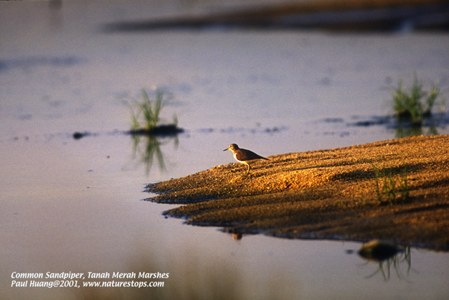 Common Sandpiper, light at dusk