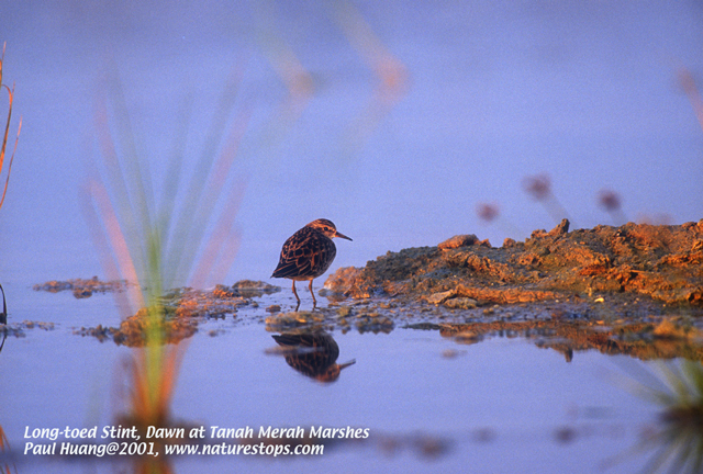 Long-toed Stint, light at dawn
